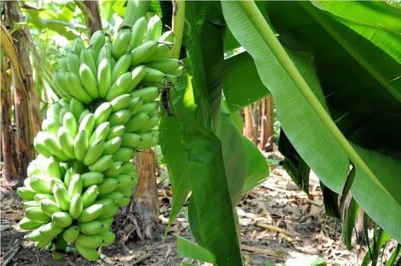 Ruta del plátano