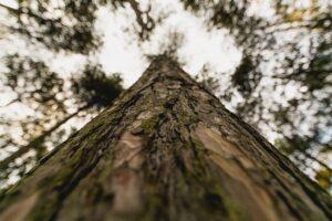 10 árboles más altos del mundo 2