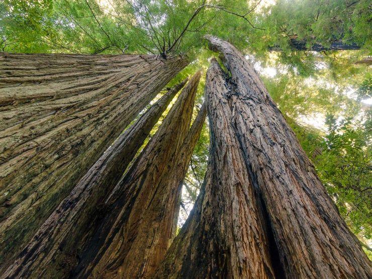 10 árboles más altos del mundo 11