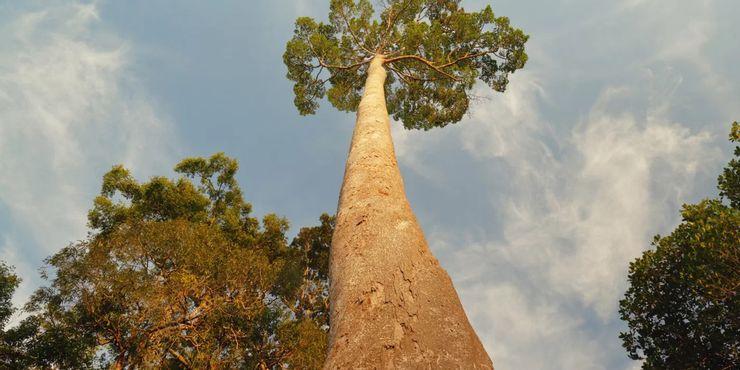 10 árboles más altos del mundo 10