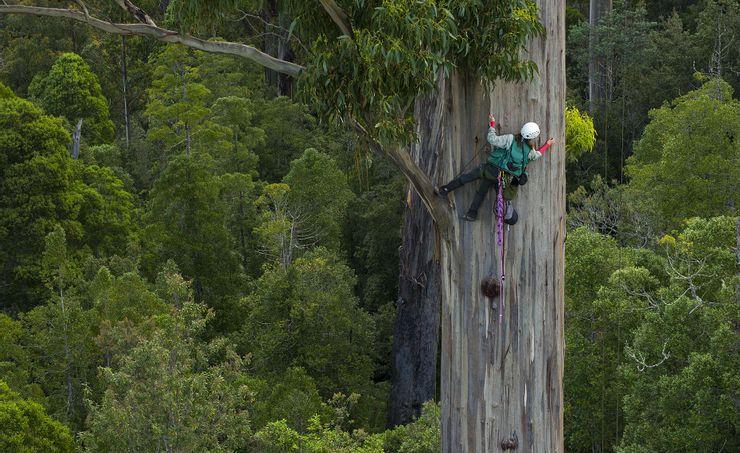 10 árboles más altos del mundo 3