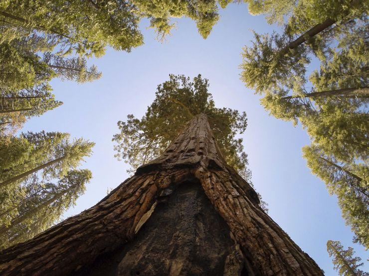 10 árboles más altos del mundo 7