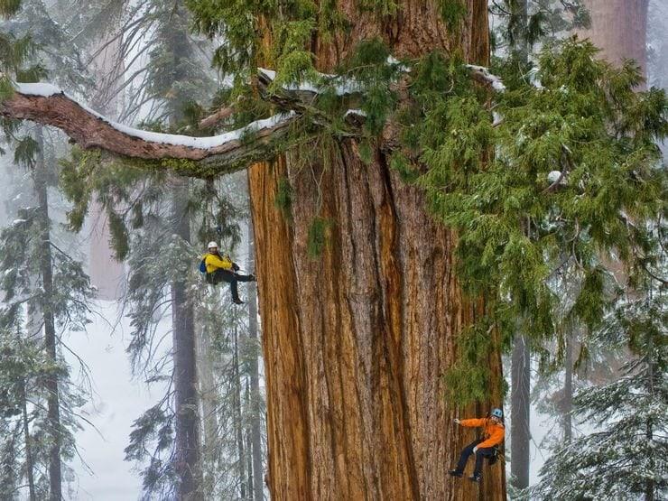 10 árboles más altos del mundo 6